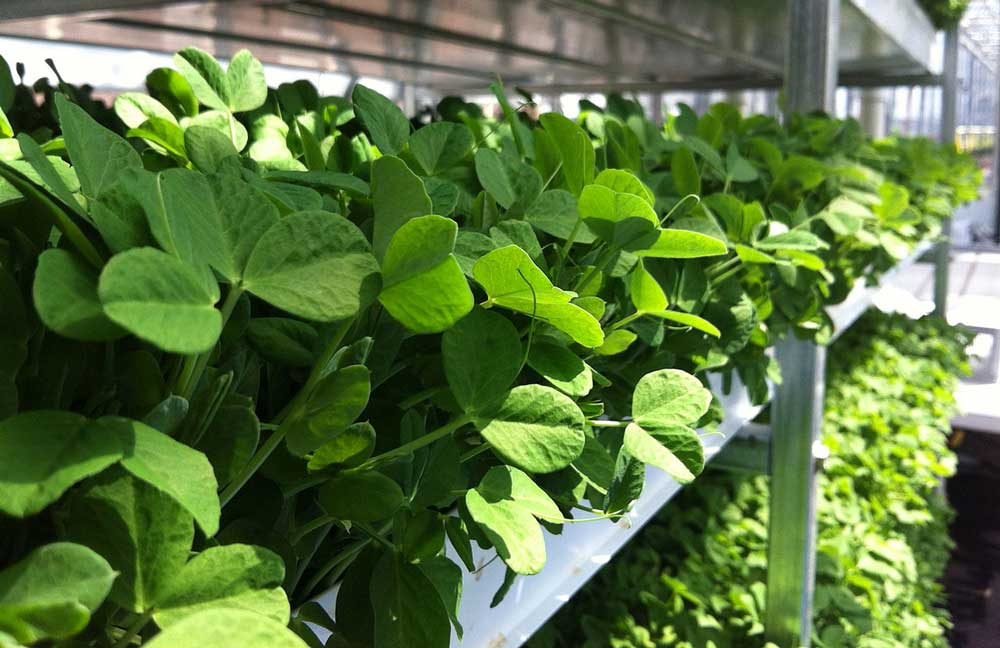 Grow Microgreens Without Soil