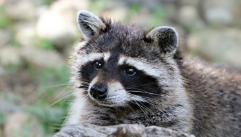How To Get Rid Of Raccoons In The Backyard?